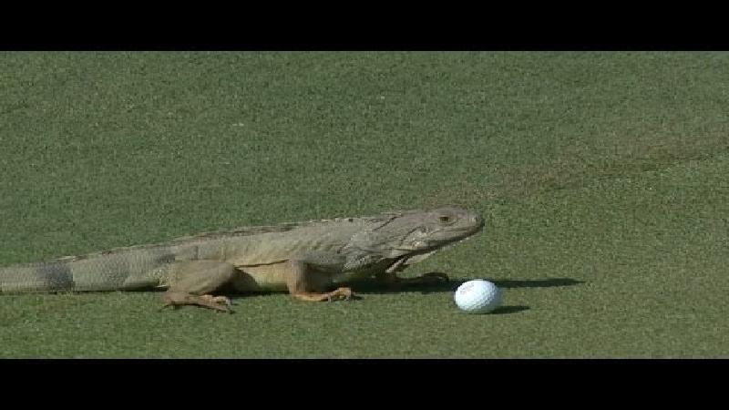 Golfbal - leguaan: 1-0