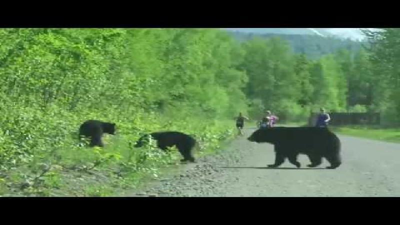 wilde grizzly beren