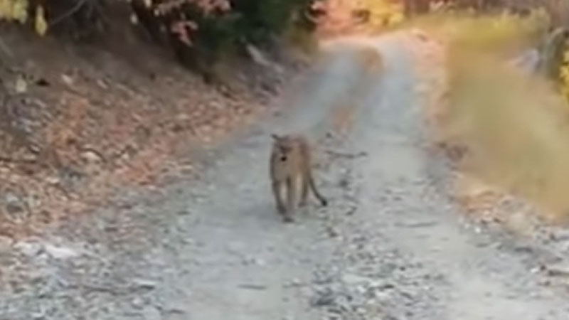 Un coureur poursuivi par un puma pendant 6 minutes (VIDEO)